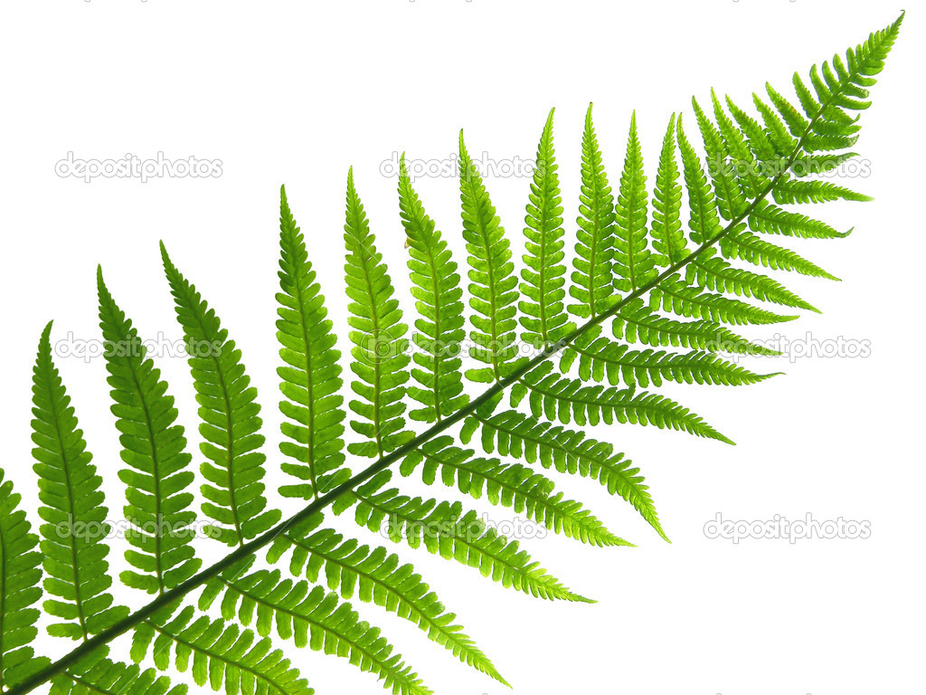leaf of fern — Stock Photo #1163220