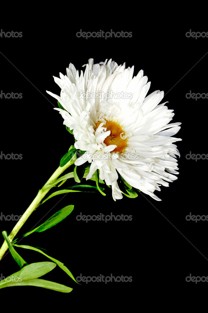 White flower  isolated  Stock Photo #1164960