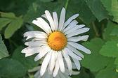 Fleur isolée — Photo