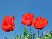 Red poppy on blue sky; — Stock Photo