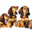 Royalty-Free Stock Photo: Puppys  dachshund