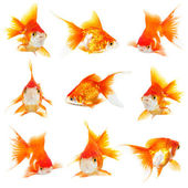 Gold small fishs — Stock Photo
