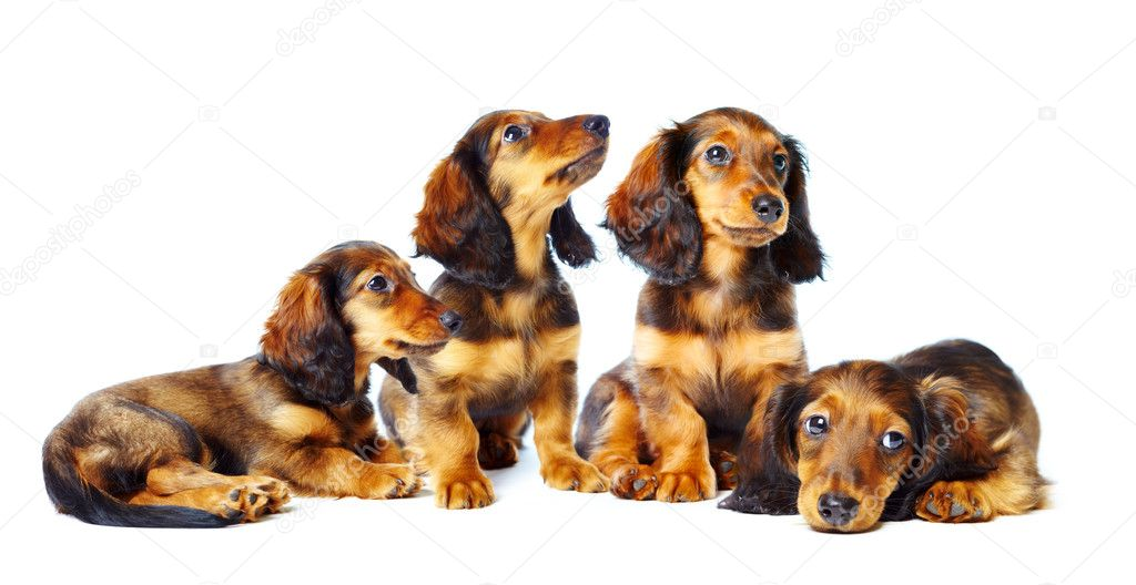 Puppys dachshund on a white background — Stock Photo #1189011