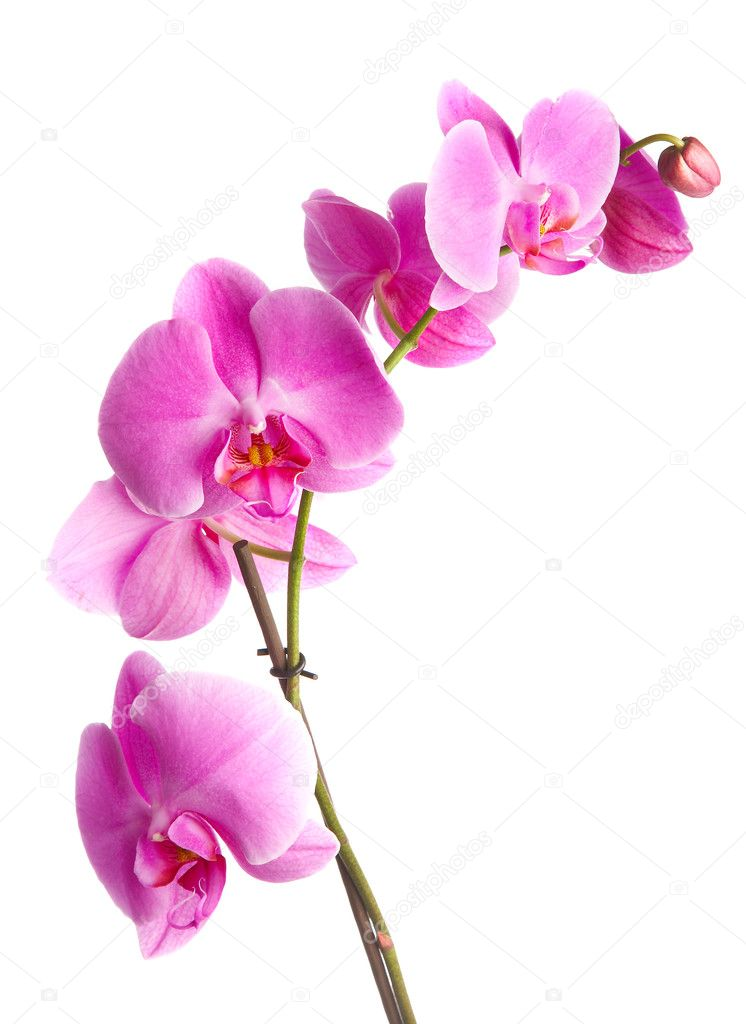 pink flowers orchid on a white background — Stock Photo #1189057
