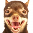 Stock Photo: Russian toy-terrier.Ridiculous dog
