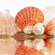 Sea cockleshells - Stock Photo