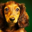 Stock Photo: Puppy dachshund