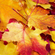 Stock Photo: Fallen maple multi-coloured leaves