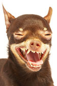 Russian toy-terrier.Ridiculous dog — Stock Photo