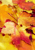 Fallen maple multi-coloured leaves — Stock Photo