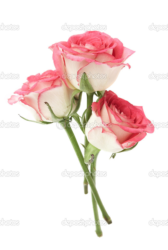 Pink rose on a white background. — Stock Photo #1191139