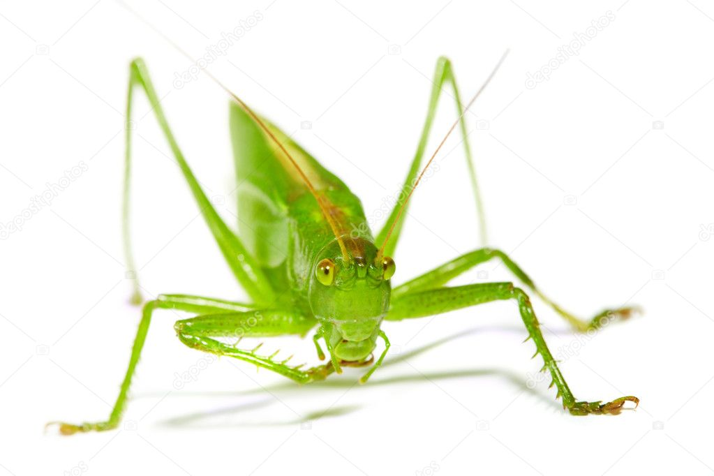 Grasshopper on a white background — Stock Photo #1191515