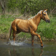 Horse in water - Stock Photo