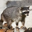 Stock Photo: Coon