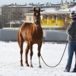 The girl with a horse in the winter on a - Stock Photo