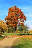Autumn maple. — Stock Photo