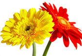 Red and yellow flower on a white backgro — Stock Photo