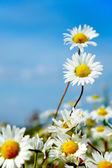 Ox-eye daisy — Stock Photo