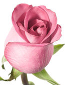 Pink rose on a white background. — Stock Photo
