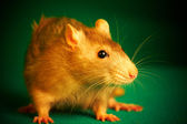 Rat on a green background — Stock Photo