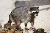 Coon — Stock Photo