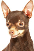 Russian toy-terrier. — Stock Photo