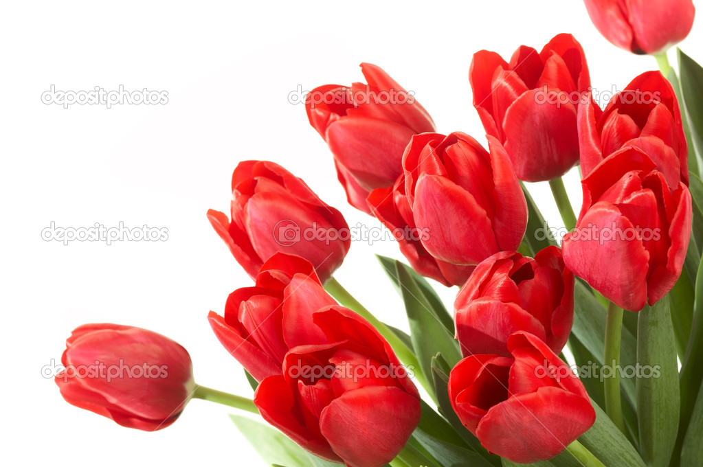 Red tulips on a white background — Stock Photo #1312740