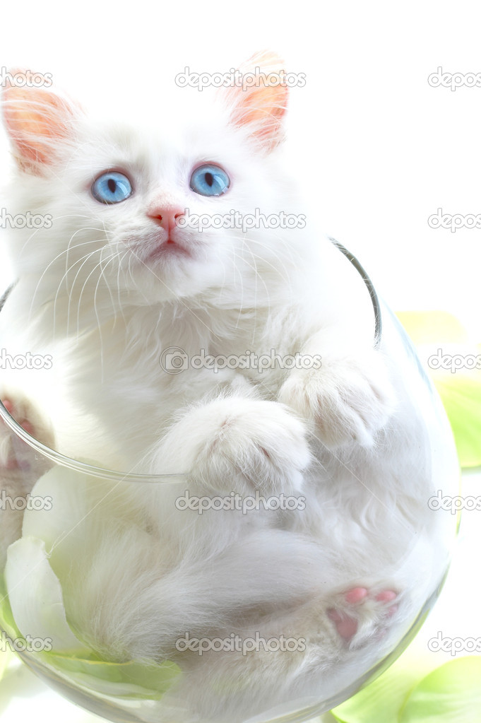 White kitten with blue eyes stock photo 169 cookelma 1317783