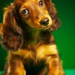 Puppy dachshund - Stock Photo
