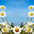 Ox-eye daisy - Stock Photo