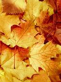 Fallen maple multi-coloured leaves — Stock Photo