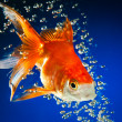 Goldfish — Stock Photo #1526483