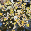Stock Photo: Leaves in water