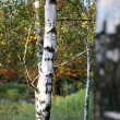 Royalty-Free Stock Photo: Young birches