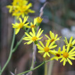 Stock Photo: Yellow autumn flowers