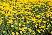 Wild yellow flowers — Stock Photo