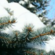 Stock Photo: Blue fir-tree