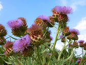 Flowers of thistle — Stock Photo