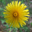 Flowering dandelion — Stock Photo #1297646