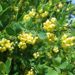 Flowering barberry — Stock Photo #1297712
