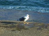 Sea-gull — Foto Stock