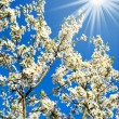Wonderful plum tree blossom. - Stock Photo