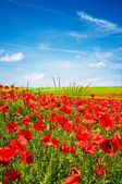 Wonderful blue sky and splendid field of — Foto de Stock