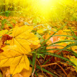 Stock Photo: Fun sunbeams and golden leaves by autumn