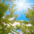 Royalty-Free Stock Photo: Wonderful  view of sun and pine  branche