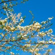 Spring blooming tree of plum. — Stock Photo #1108497