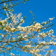Spring blooming tree of plum. — Stock Photo