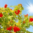 Blue sky and splendid red rowan. — Stock Photo