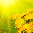 Dandelions early morning in spring. — Stock Photo