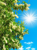 White acacia and fun sun in the blue sky — Stock Photo